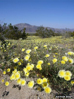 Asters in Joshua Tree National Park, US