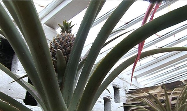 Pineapple plant at the Lost Gardens of Heligan