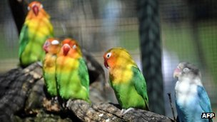 File picture of parakeets 26 March, 2012
