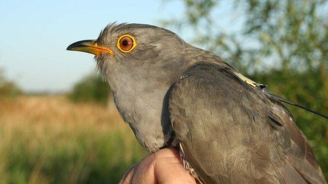 Cuckoo with GPS tag (Image: BTO)