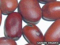 Martock Broad beans