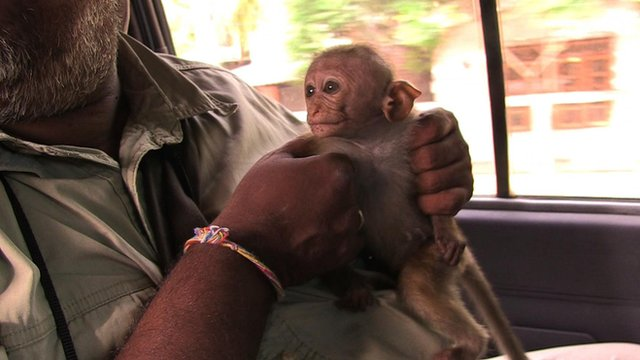 Infant toque macaque being taken to wildlife hospital