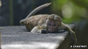 Young toque macaque lying on temple ruin wall