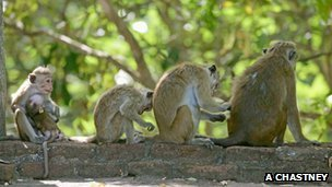 Family group of toque macaques (c) Andy Chastney