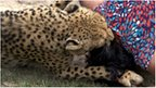 Cheetah mauling Violet D'Mello [Pic: Caters News Agency]