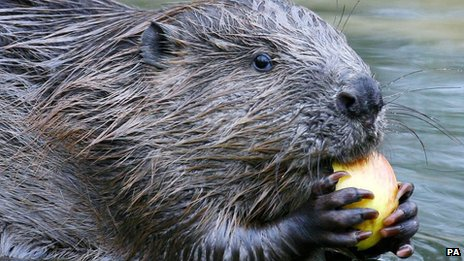 European beaver at Argyll, Scotland, released there in 2009