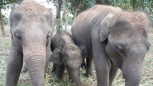 Elephants in Sril Lanka