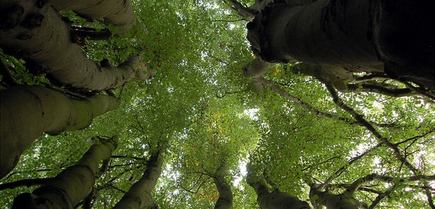 Multi-stemmed beech tree in urban green space (Image: BBC)