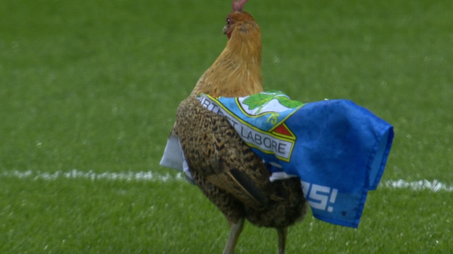 A chicken on the Ewood Park pitch during Blackburn's match against Wigan