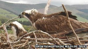 Osprey at the Dyfi Osprey Project