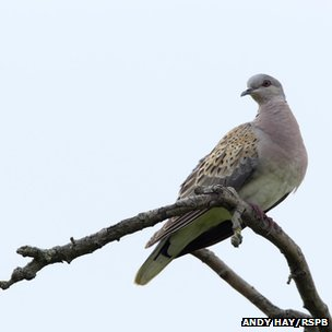 Turtle dove (c) Andy Hay/RSPB