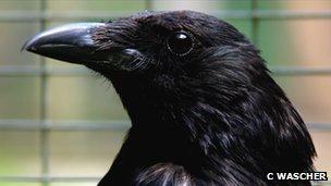 Carrion crow (c) Claudia Wascher