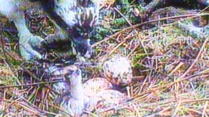 osprey chick at Glaslyn