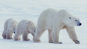 Polar bear mother with two cubs