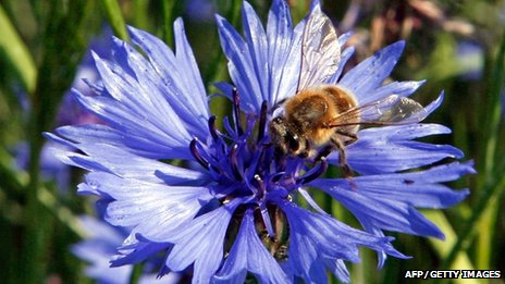 Bee on a cornflower