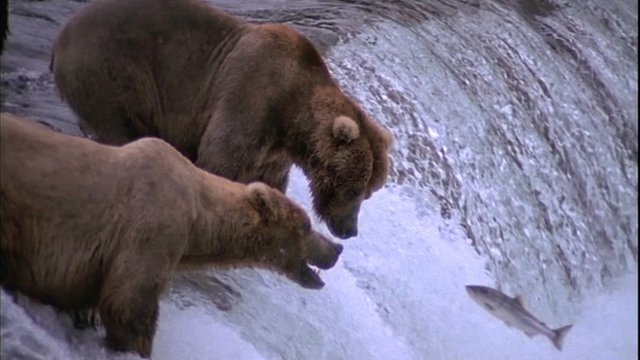 Bears catching salmon