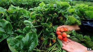 Worker holding strawberries