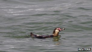 Still from footage reportedly showing the one-year-old Humboldt penguin in Tokyo Bay. Photo: 7 May 2012