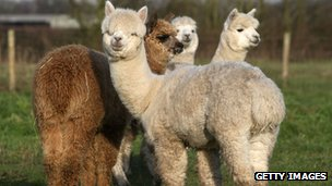 Alpacas in field (generic)