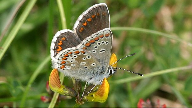 Brown argus (c) Peter Eeles