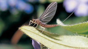 Iron blue mayfly (c) Stuart Crofts