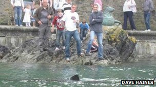 Basking shark in Looe