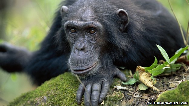 Chimpanzee (Pan troglodytes)