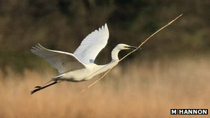 Great white egret flying with nesting material in beak (c) Mike Hannon