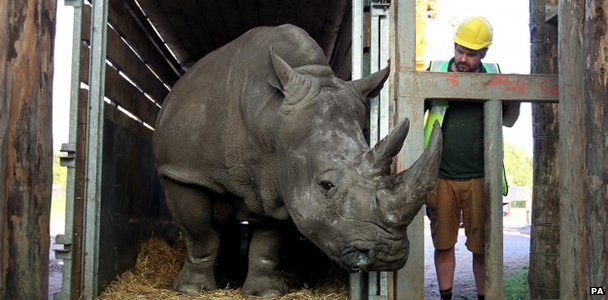 Lucy the rhino arriving in Scotland