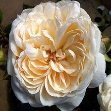 Queen's Jubilee Rose by Peter Beales Roses