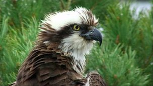 """Lady"" the osprey"
