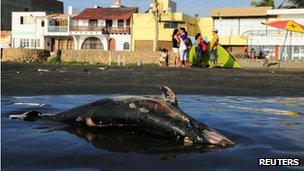 Dead dolphin in Peru on 6 May 2012