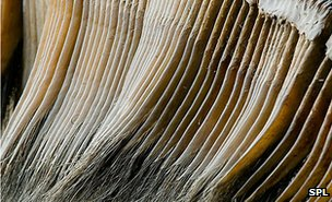 Baleen (from a museum display) (c) SPL