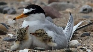 A Little Tern protects two of its chicks