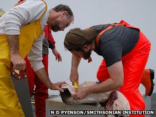 Scientists from the University of British Columbia and the Smithsonian Institution point to a ridge of tissue sampled from the throat pouch a fin whale (c) N D Pyenson / Smithsonian Institution