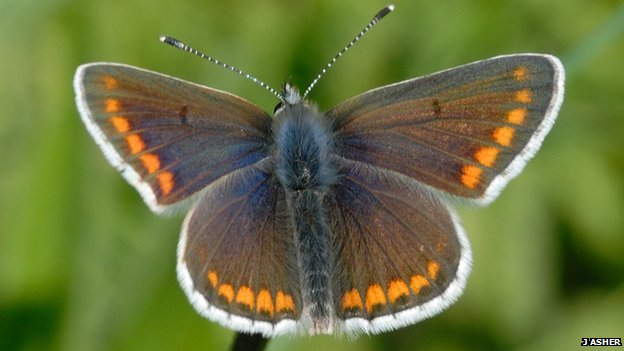 The brown argus butterfly (c) J Asher, Butterfly Conservation