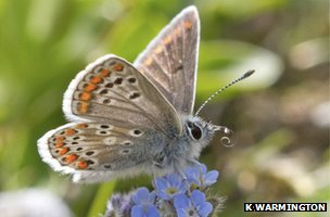 A brown argus butterfly (c) K Warmington, Butterfly Conservation