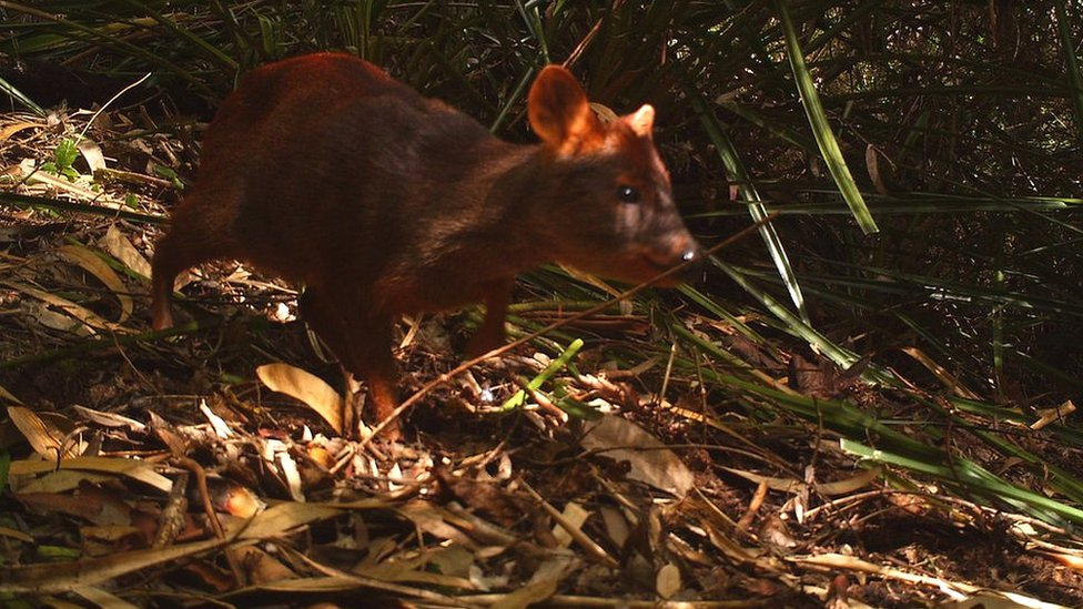 A pudu photographed at a camera trap (c) E Silva-Rodriguez