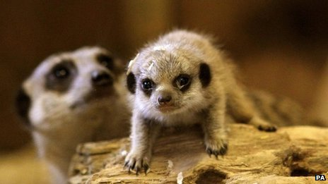 meerkat pup