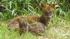 A mother pudu and fawn living in captivity (c) E Silva-Rodriguez