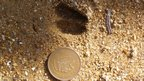 A pudu print compared to a Chilean 100 peso coin (c) E Silva-Rodriguez