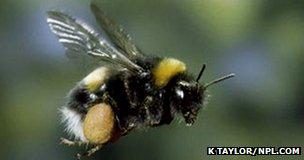 Bumblebee (c) Kim Taylor/NPL