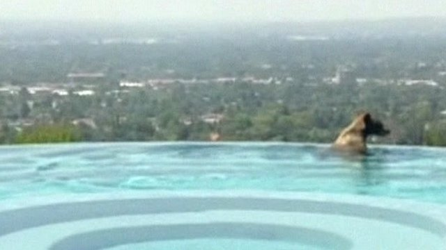 Bear in infinity pool