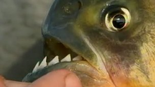 Red-bellied piranha close-up 
