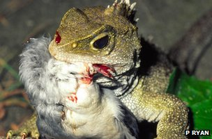 Tuatara eating a seabird (c) Paddy Ryan