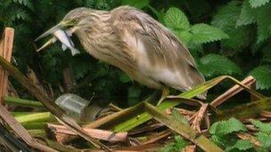 A juvenile squacco heron seen at Attenborough Nature Reserve last November