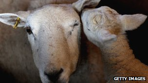 A lamb nuzzles its mother at Gwndwnwal Farm, Brecon, Wales, file pic from 2010