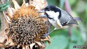 Bbc nature uk garden bird feeding guide for Whole coconut bird feeders