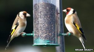 Goldfinches on nyjer (niger) seed feeder (c) Brian Brady