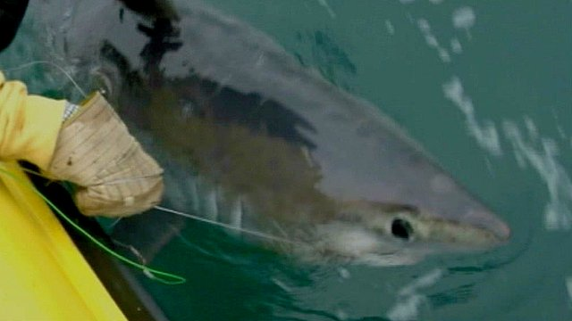 Could this be the biggest shark ever caught in British waters?